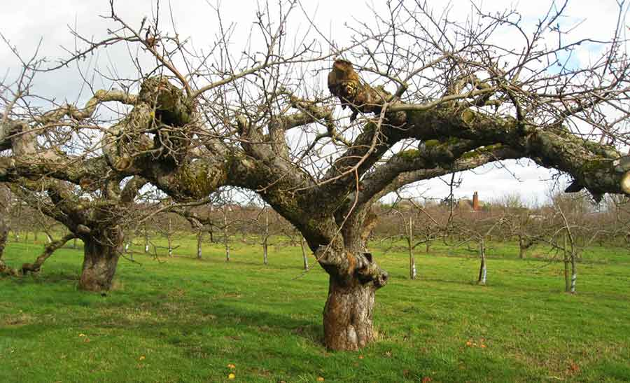 The Old Apple Tree