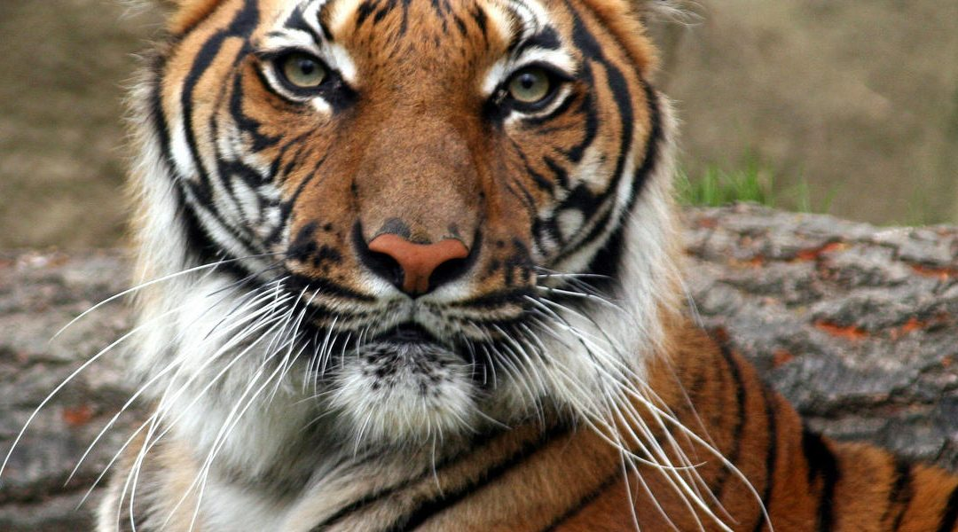 Why Tigers Never Attack Men Unless They Are Provoked