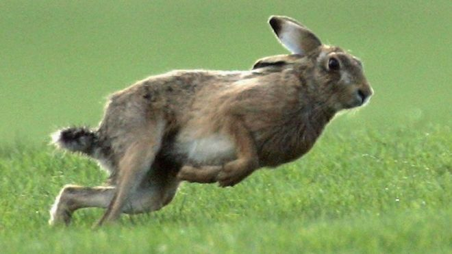 The Timid Hare and the Flight of the Beasts