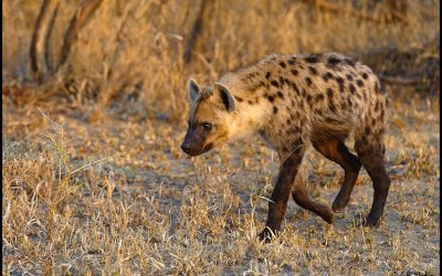How Two Roads Overcame the Hyena