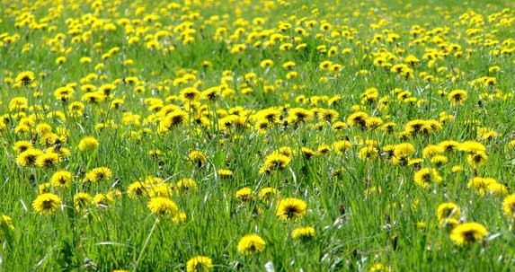 The Problem with Dandelions