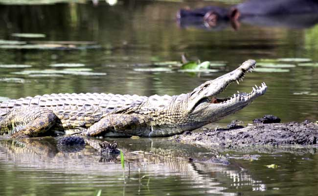 Why The Crocodile Does Not Eat The Hen