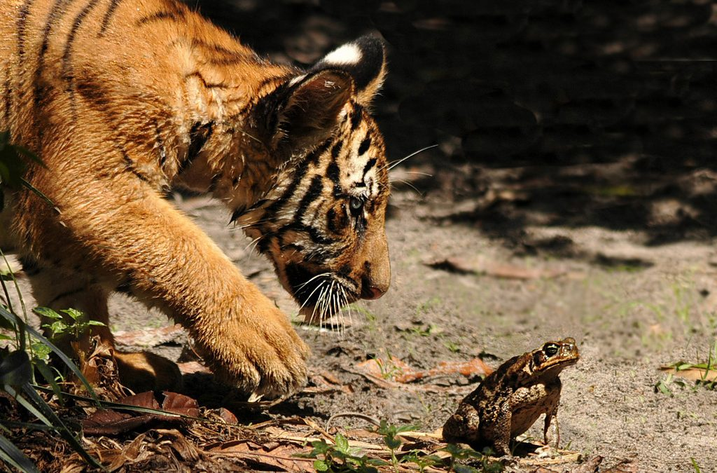 The Tiger and the Frog
