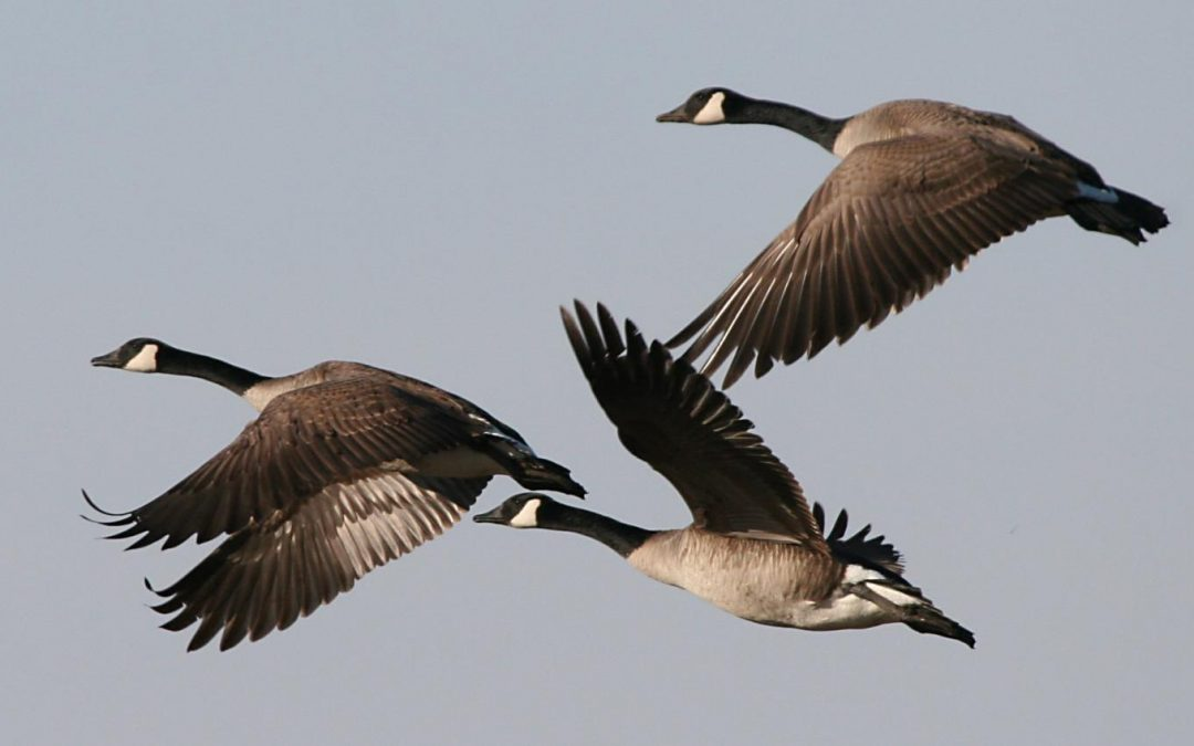"Poem: ""Wild Geese,"" by Mary Oliver"