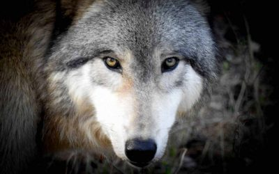 """Poem: """"The Last Wolf,"""" by Mary TallMountain"""