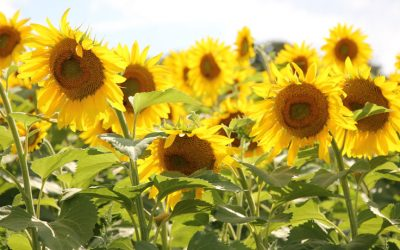 Thich Nhat Hanh: See the Universe in a Sunflower